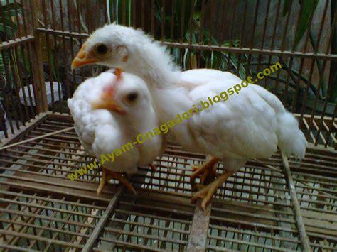 jual ayam hias onagadori ayam ekor panjang ayam onagadori