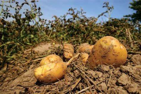 Potatoes Meaning by Potato Definition Origin Facts Britannica