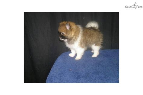 pomeranian puppies for sale in ct meet wendy a pomeranian puppy for sale for 610 pomeranian nj ny ct md de