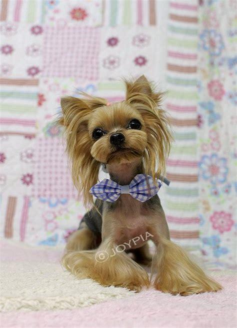 grooming cuts for maltese yorkie mix korean dog grooming style yorkshire terri 235 r dog