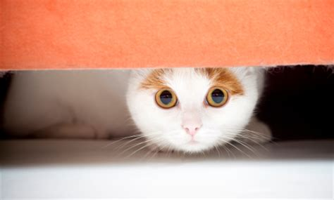 cat hiding under bed handling aggressive fearful or fighting pets vet