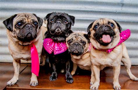 pug rescue brisbane win tickets to melbourne s pug wedding melbourne the list