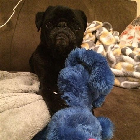 best chew toys for pugs 83 best pugs and toys images on pug pictures doggies and animal babies