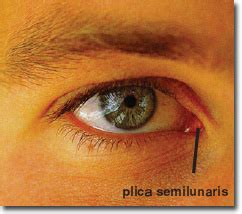 third eyelid 10 vestigial structures the most controversial human organs 10awesome