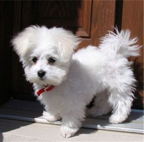 teacup puppies for sale in alabama sweet teacup maltese puppies for free adoption for sale adoption from montgomery al