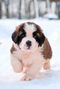 st bernards puppies national puppy day 2016 photos must see cutest puppies