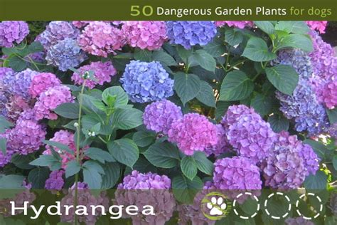 are hydrangeas poisonous to dogs 50 dangerous garden plants for dogs