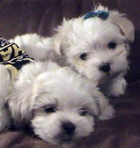 puppies for sale chesapeake va maltipoo puppies for free adoption breeds picture
