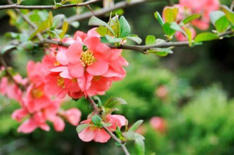fiori di pesco giapponese fioriture primaverili il fior di pesco pollicegreen
