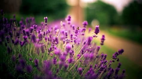 wallpaper flower lavender lavender flower new desktop hd wallpapers hd wallapers