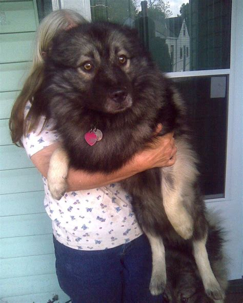 breeders indiana breed keeshond puppies breeds picture