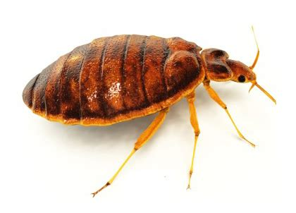 why do bed bugs come out at night pest control london multi clean pro