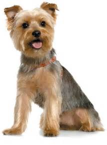 yorkie haircuts for a silky coat yorkshire terrier pets world