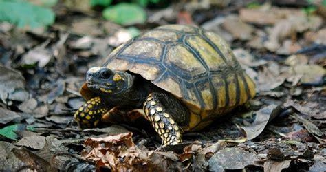 imagenes de tortugas raras mi tortuga no come