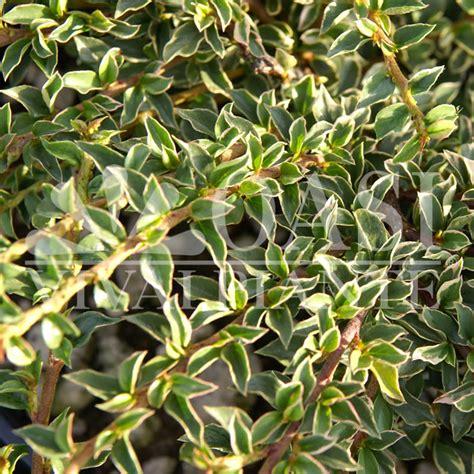 piante tappezzanti fiorite tappezzanti oasi viviaio piante