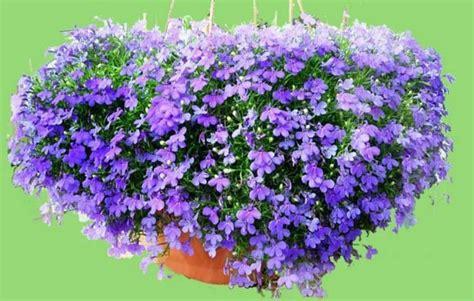 Pot 17 Cm Putih Pink Hijau Merah Biru Coklat Kuning macam macam tanaman hias gantung dengan bunga cantik tanaman hias tanaman hias