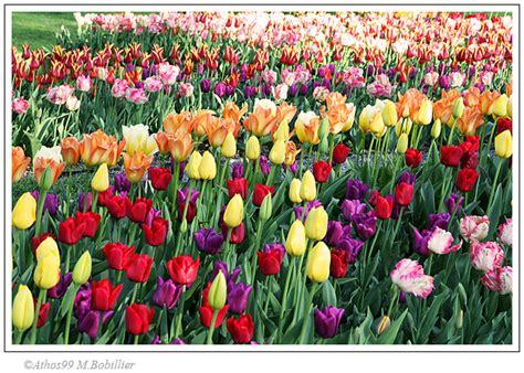 la tulipe la tulipe