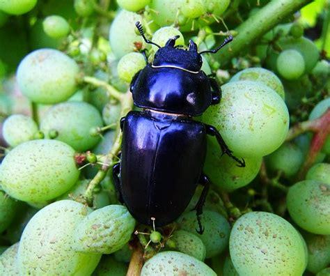 cervo volante insetto parks it gli insetti protetti in lombardia