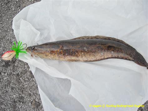 Ikan Tiruan ikan haruan air related keywords ikan haruan air keywords keywordsking