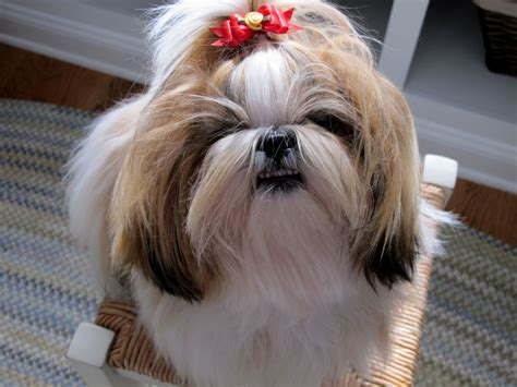 shih tzu bows shih tzu with bow in hair 1000 images about more on shih tzus on pets