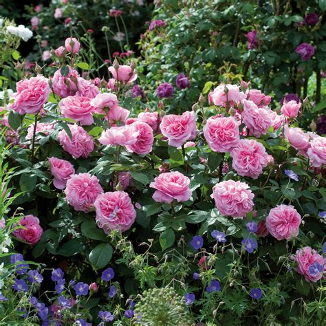 David Patio Roses by The Best Fragrant Roses For Your Garden Or Patio