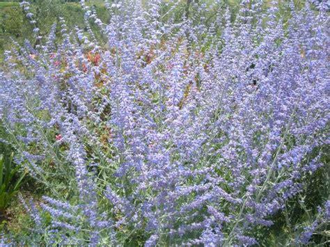 piante da giardino con fiori viola la finestra di stefania un giardino viola melanzana la