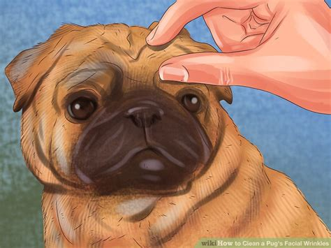 cleaning pug wrinkles 3 ways to clean a pug s wrinkles wikihow