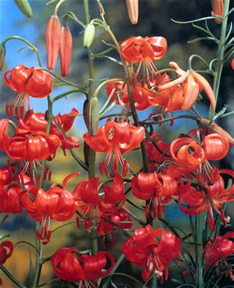 fiore con la o lilium per la coltivazione in piena terra