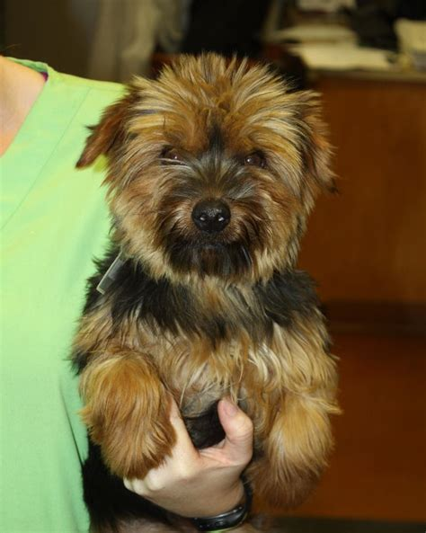 yorkie animal rescue 71 best images about n animals on terrier