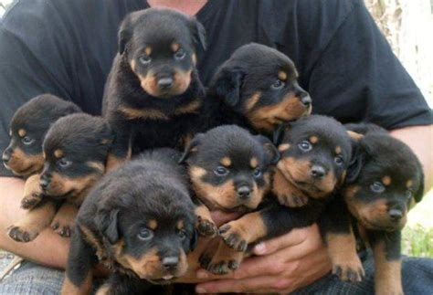 puppy rottweiler for adoption rottweiler puppies available for adoption buy rottweiler dogs pets world
