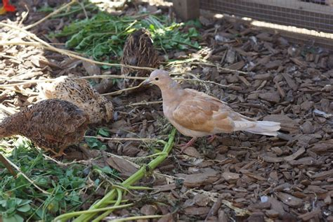 Quail Backyard by Quail Pen Backyard Chickens