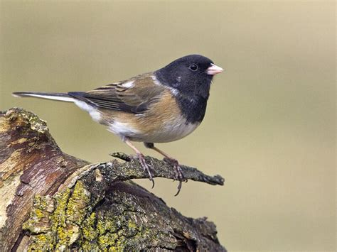 birds of the world juncos