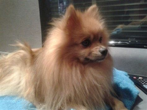 perros pomeranian 17 best images about perros pomerania on guayaquil puppys and so