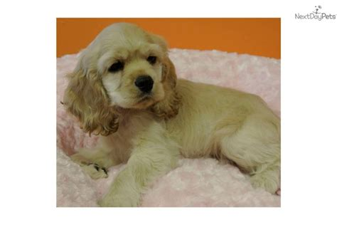 cocker spaniel puppies for sale in florida cocker spaniel puppy for sale near jacksonville florida f0dc1f25 5121