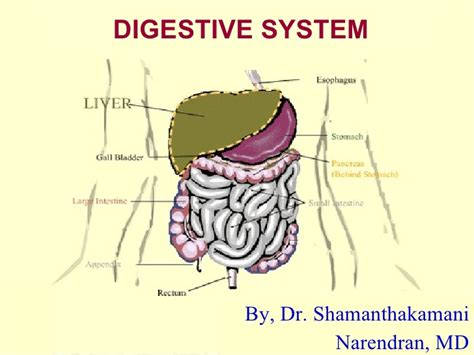 08 Digestive System Ppt Digestive System Powerpoint
