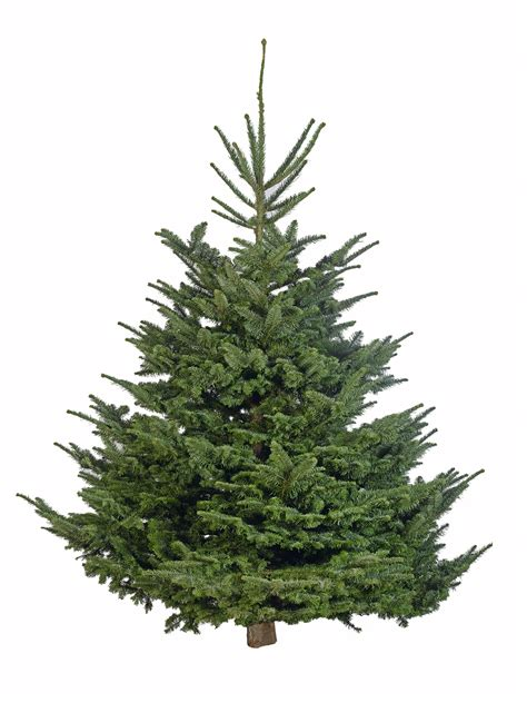 large nordman fir christmas tree