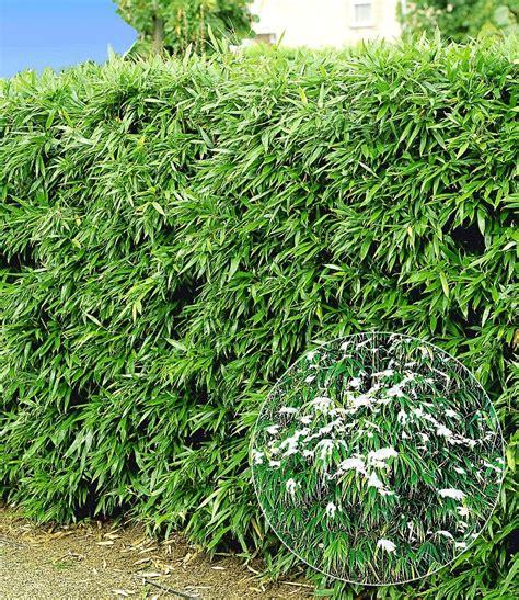 kirschlorbeer hecke welche sorte winterharte bambushecke 1a pflanzen kaufen baldur garten