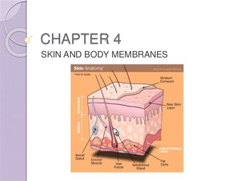 anatomy and physiology coloring workbook answers skin anatomy and physiology coloring workbook chapter 4 skin