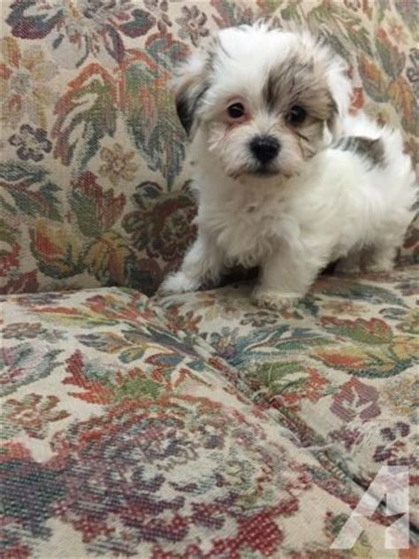 maltese yorkie mix for sale maltese yorkie mix for sale in spokane washington classified americanlisted