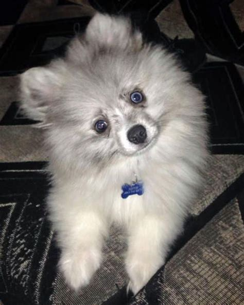 one eyed pomeranian 1000 ideas about blue pomeranian on blue merle blue merle pomeranian and