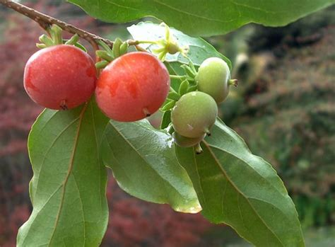 Tropical Edible Plants - unusual edible plants tropical apricots garden goodness pinterest