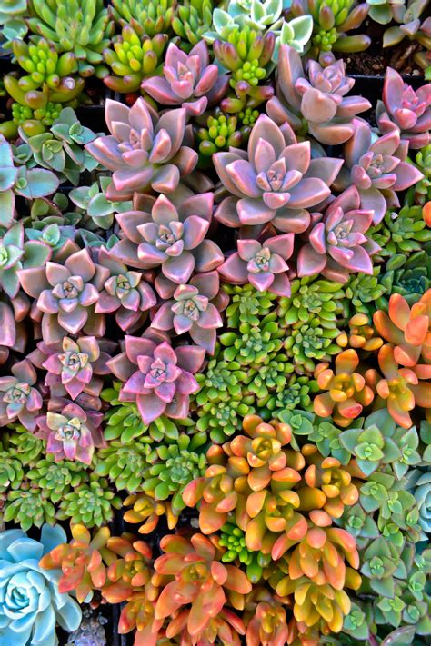 succulents sylvia valentine pictures from the heart
