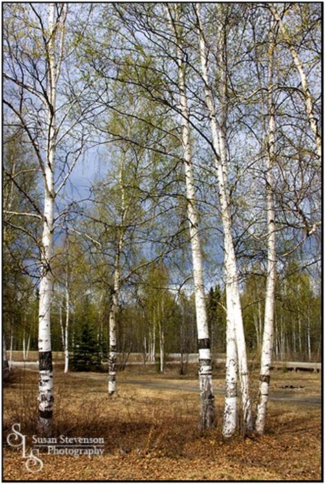 birch trees types