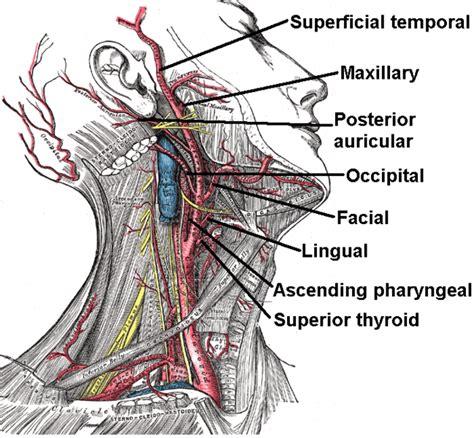 arteria mascellare interna what and where is the neck carotid artery common