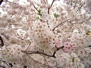 Japanese Cherry Blossom Home Decor yoshino cherry tree the flowers avenue