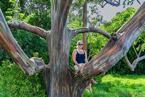 road to hana rainbow eucalyptus trees stop 3 photos