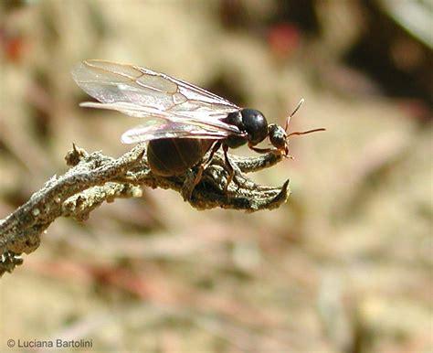formiche volanti quando le formiche sciamano le formiche con le ali