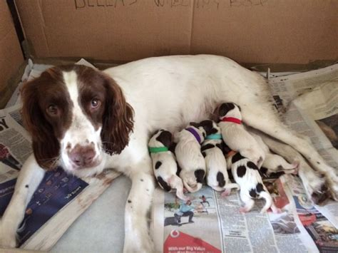 springer spaniel puppies for sale springer spaniel puppies for sale ringwood hshire pets4homes
