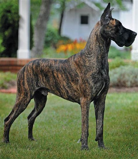 great dane dogs great dane dog breed info pictures petmd great dane dinoanimals com