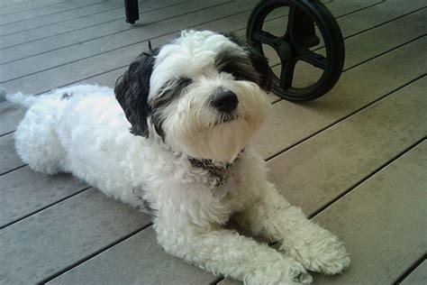 white fluffy breeds large white fluffy breeds breed dogs spinningpetsyarn